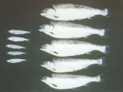 Non-modified fish on the left, and modified fish on the right. All of the fish are 12 months old.