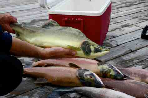 Activists have made much of finding yellow salmon but research shows there's no connection with PRV or a disease only observed in Europe.